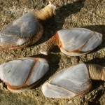 Goose barnacles that grow on things crossing the Atlantic