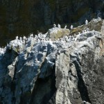 Guillemots on ledge