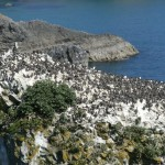 Guillemots on sea stack