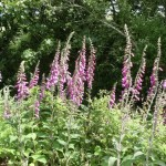 June Fox Gloves