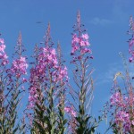 July Rose Bay Willow Herb